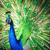 Splendid peacock with feathers out. (Pavo cristatus) (shallow DOF; color toned image Stock Images