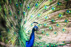 Splendid peacock with feathers out Stock Photography