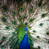 Splendid peacock with feathers out Royalty Free Stock Photography