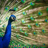 Splendid peacock with feathers out Stock Images