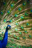Splendid peacock with feathers out (Pavo cristatus) Stock Photos