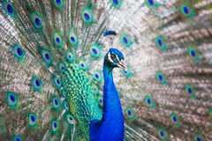 Splendid peacock with feathers out. Pavo cristatus shallow DOF; color toned image Royalty Free Stock Photography