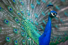 Splendid peacock with feathers out Royalty Free Stock Image