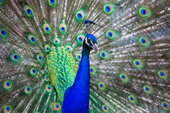 Splendid peacock with feathers out. Pavo cristatus shallow DOF; color toned image Royalty Free Stock Image