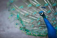 Splendid peacock with feathers out Pavo cristatus. Shallow DOF; color toned image Royalty Free Stock Photos