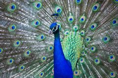 Splendid peacock with feathers out Pavo cristatus. Shallow DOF; color toned image Royalty Free Stock Photography