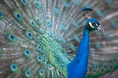 Splendid peacock with feathers out Pavo cristatus. Shallow DOF; color toned image Stock Images