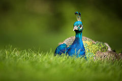 Splendid peacock (Pavo cristatus) Royalty Free Stock Images
