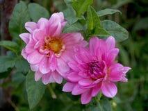 Splendid pink dahlias in the garden Stock Photo