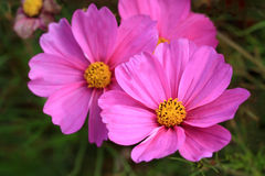 Splendid pink flower Royalty Free Stock Images