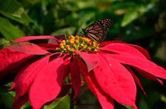 Splendid poinsettia and monarch butterfly. Splendid poinsettia in full bloom and beautiful monarch butterfly Royalty Free Stock Photos