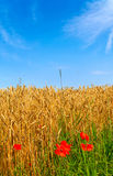 Splendid poppies and ripe wheat. Stock Images