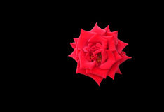 Splendid red rose isolated on black Royalty Free Stock Image