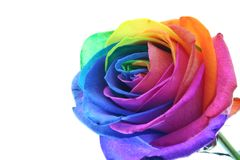Splendid rose. With each petal in another color Stock Photography