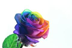 Splendid rose Stock Image