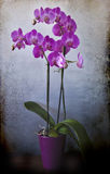 Splendid specimen of blooming orchid in vase Royalty Free Stock Photo