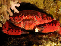 Splendid Spooner coral crab Stock Photos