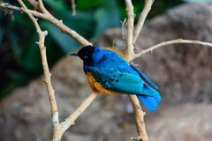 The splendid starling Royalty Free Stock Images