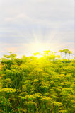 Splendid summer view of sunset and dill. Royalty Free Stock Photos