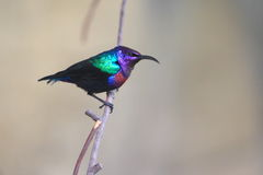 Splendid sunbird Royalty Free Stock Images