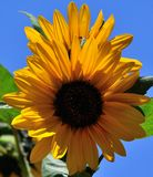 Splendid sunflowers in full bloom. On blue background Royalty Free Stock Images
