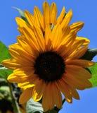 Splendid sunflowers in full bloom Royalty Free Stock Images