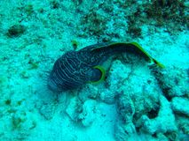 Splendid toadfish stock images