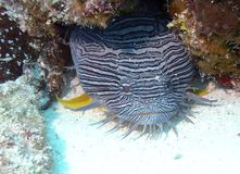 Splendid Toadfish Royalty Free Stock Photos