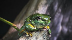 Splendid tree frog Stock Image