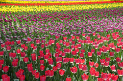 Splendid Tulip land in blooming Royalty Free Stock Photos