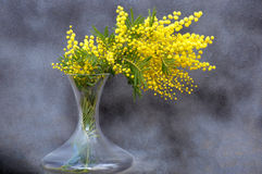 Splendid unusual mimosa bouquet Royalty Free Stock Image