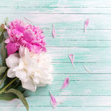 Splendid white and pink peonies flowers on turquoise painted woo Royalty Free Stock Photos