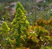 Splendid wildflowers of aeonium. Splendid flowers of aeonium, wild plant of Canary islands Royalty Free Stock Images