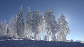 Splendid winter landscape, fir trees full of snow, serene blue sky, sunny day. UHD 4K stock footage