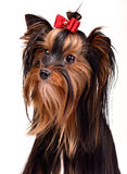 Splendid yorkshire terrier portrait Royalty Free Stock Photo