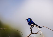 Splendide fairywren Photo stock
