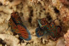 Splendidus di Synchiropus - pesce del mandarino Fotografia Stock Libera da Diritti