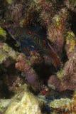 Splendidus masculino y femenino de Synchiropus de los pescados del mandarín ocultado en cavidades coralinas duras fotografía de archivo
