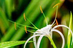 Splendor of Spider Lily Stock Image