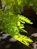Lime Green Autumn leaves, backlit by natural Sunlight of a Robinia Frisia. The Splendor of Translucent Lime Green Leaves of a Robinia in Autumn. Wonderful royalty free stock photography