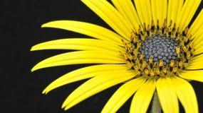 Splendore giallo. Fotografia Stock Libera da Diritti