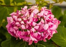Splendurous装饰桃红色八仙花属花 免版税库存照片