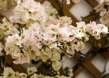 Splendurous blommar den dekorativa vita bougainvillean med ljus - rosa toner Arkivbild