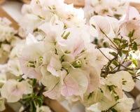 Splendurous blommar den dekorativa vita bougainvillean med ljus - rosa toner Royaltyfria Bilder