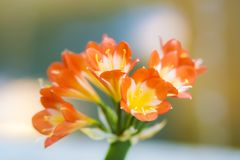 Splijten Rode bloem royalty-vrije stock fotografie