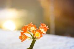 Splijten Rode bloem stock foto's
