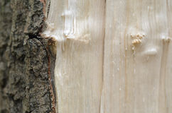 Splintertree close-up wooden texture Stock Photography
