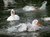 Splish Splash Geese Bath Stock Photo