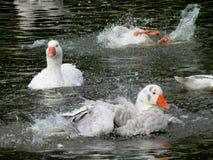 Splish Splash Geese Bath Stock Photo