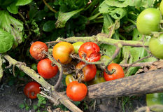 Split and blight-afflicted cherry tomatoes. Truss of split and blight-afflicted cherry tomatoes in a vegetable patch. Plant stems show brown patches of disease Royalty Free Stock Image